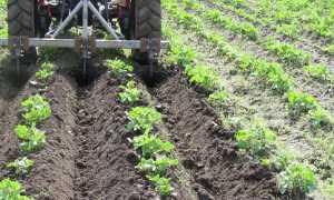 Уход за посадками картофеля: боронование, рыхление и окучивания